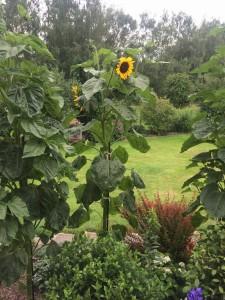 sonnenblumen 2 IMG_1727