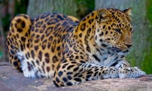 Amur_Leopard_(P.p._amurensis)