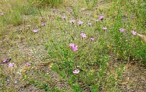 Heidenelken, streng geschützt, blühen am trockenen Wiesenrand.