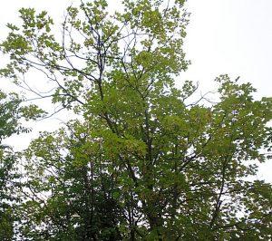Ein Spitzahorn an der Wenemarstraße zeigt ebenfalls schüttere Krone mit vertrockneten Zweigen.