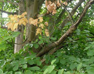 Welkende Blätter und abgeschälte Rinde an toten Ästen: derselbe Spitzahorn.