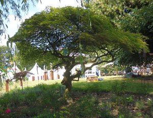 Wahrscheinlich kein Naturdenkmal, aber ganz offensichtlich auch schon ganz schön alt: ein japanischer Ahorn, ein hübscher Zwerg , den auch Gartenfreunde ohne hektargroßen Schlosspark pflanzen können.